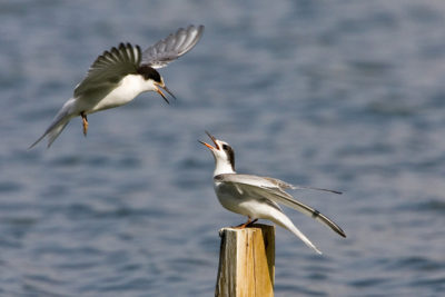 common-tern-1343931-639x425